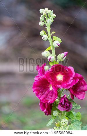 Red Hollyhock orAlcea rosea in the garden