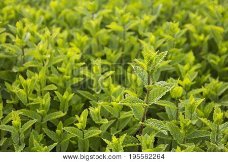 vegetable patches of fresh sweet mint leaves on cultivated land can be ussed as a background