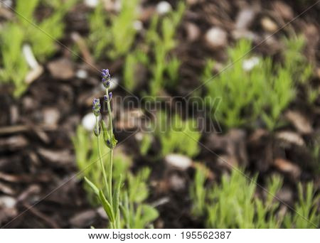 Blooming green sweet smelled lavender stems on cultivated vegetable patches
