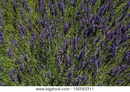 Close-up of lavender flowers under sunny blue sky, near the village of Gordes. Located in the Vaucluse department, Provence region, in southeastern France