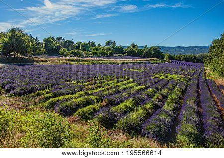 Roussillon, France. Panoramic view of field of lavender flowers under sunny blue sky, near the village of Roussillon. In the Vaucluse department, Provence region, southeastern France