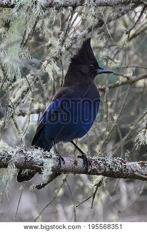 A pretty Stellar Jay perches in a branch in the forest
