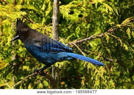 A pretty Stelars jay sits perched on a branch in the forest.