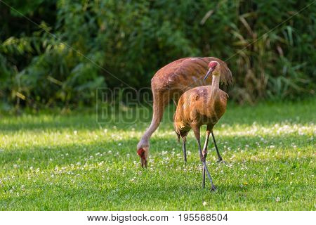 Sandhill crane (Grus canadensis) Pair of cranes walking and feeding in a field during the summer in Wisconsin
