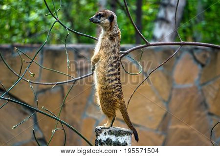 Meerkat Stay Over Stump Look