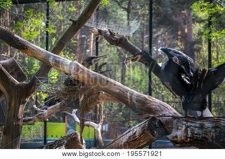A Family Of Cormorants Building A Nest