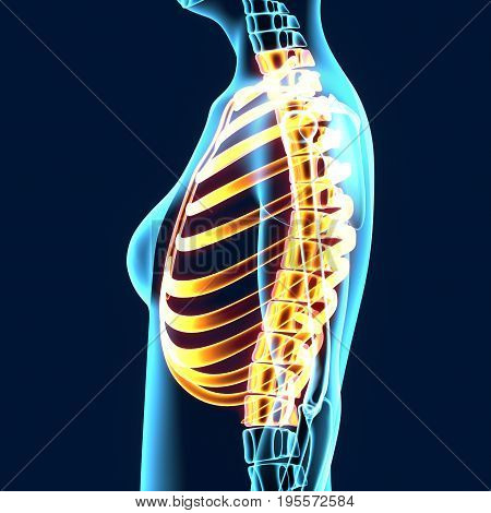 3d illustration of human body ribs anatomy