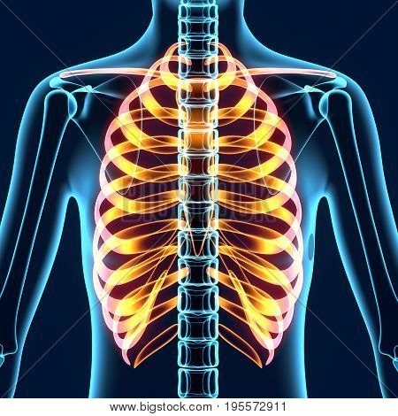 3d illustration of human body ribs cage anatomy