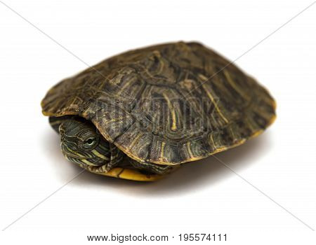 pet turtle red-eared slider or Trachemys scripta elegans hides its head under the shell
