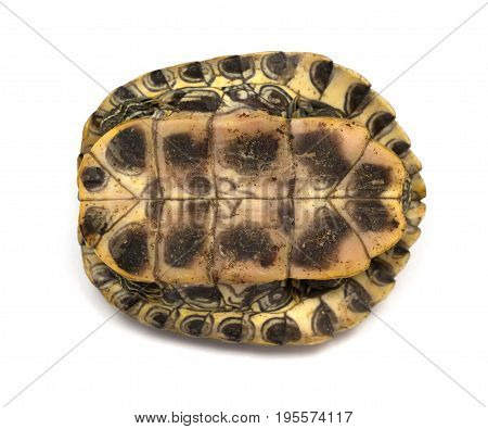 bottom of a pet turtle red-eared slider or Trachemys scripta elegans