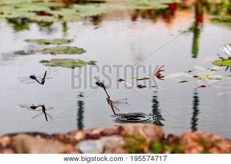 The indothemis carnatica dragonflies in tandem over riverbank