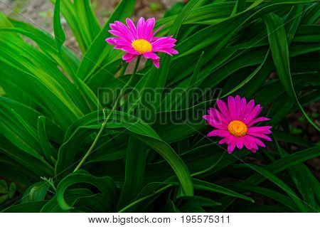 Gerber. large pink daisies with a bright yellow Center. in the Park