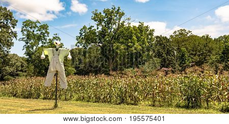 Scarecrow in front of a field of sweet corn in June