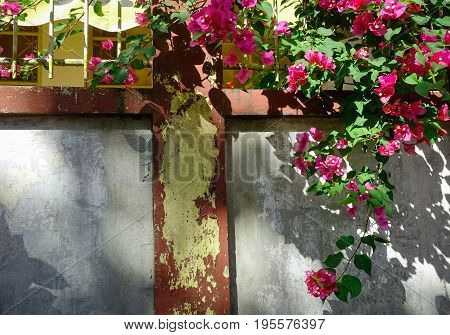 Old Wall With A Bougainvillea Plant