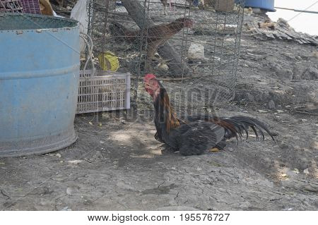 Rooster and chickens. farm. Chickens on traditional free range poultry farm.