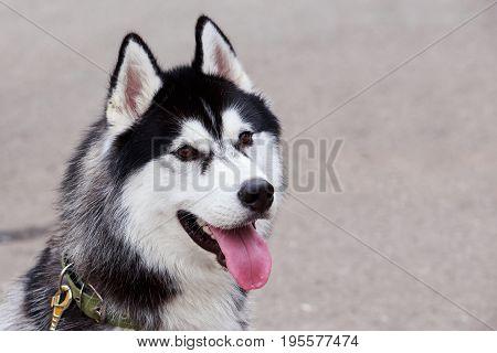 The portrait dog breed Alaskan Malamute on a gray background
