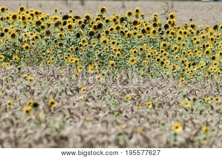 Sunflowers In The Field Of Wheat