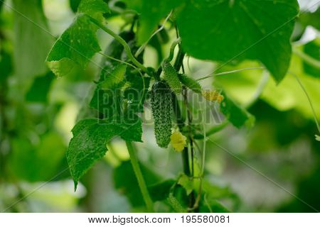 Cucumber growing in garden fresh and heathy food