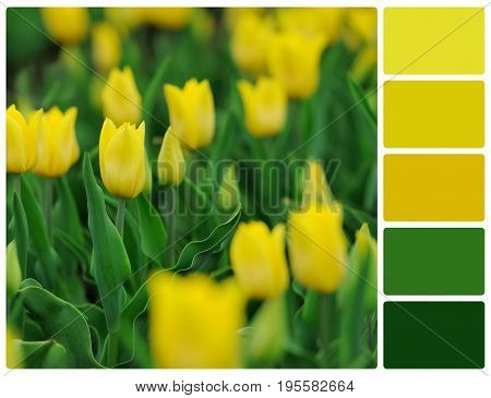Yellow Tulips Flowers With Palette Color Swatches