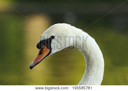 closeup of beautiful mute swan ( Cygnus olor )