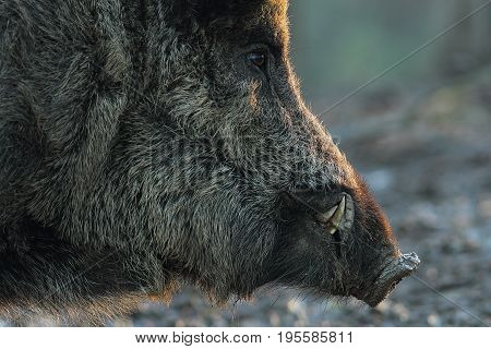 closeup of wild boar head at down ( Sus scrofa )