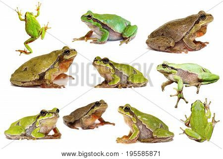 collection of european green tree frogs isolated over white background ( Hyla arborea )