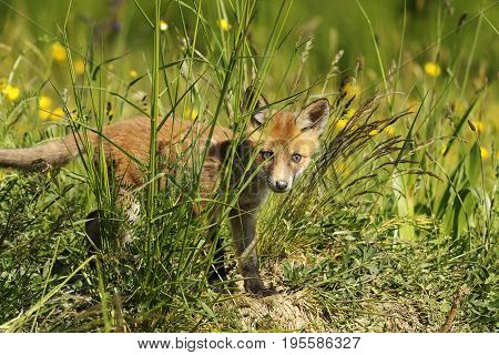 curious fox cub hiding in the grass looking towards the camera ( Vulpes )
