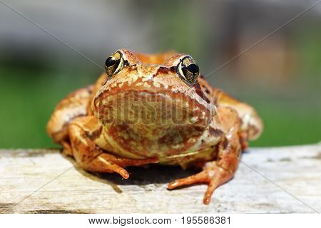 cute portrait of Rana temporaria the european common brown frog animal looking at the camera