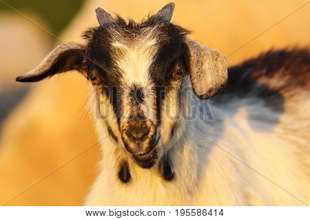 cute young mottled goat portrait looking at the camera