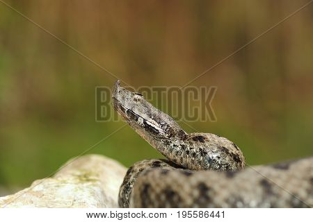 dangerous european snake ready to attack while standing on a rock ( nose horned viper Vipera ammodytes )