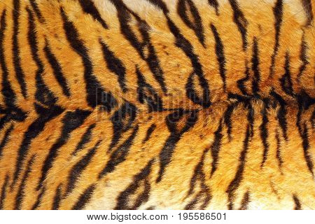 detail of tiger stripes on wild animal leather natural texture of fur