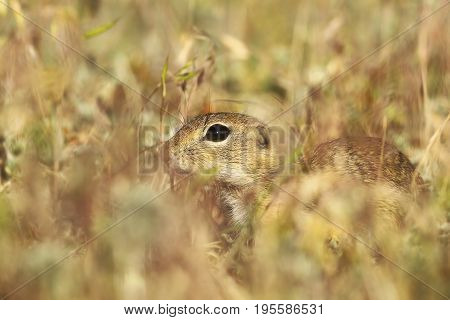 european ground squirrel hiding in the grass ( Spermophilus citellus )