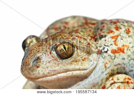 portrait of garlic toad or common spadefoot isolated over white background ( Pelobates fuscus )