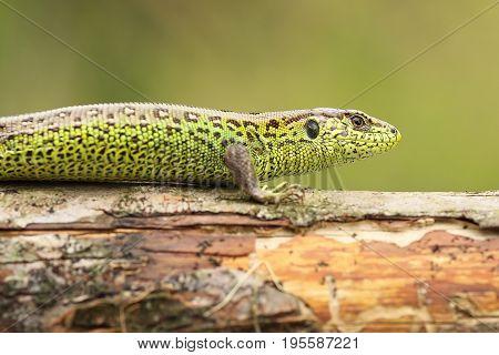Lacerta agilis basking on wood stump ( common european sand lizard )