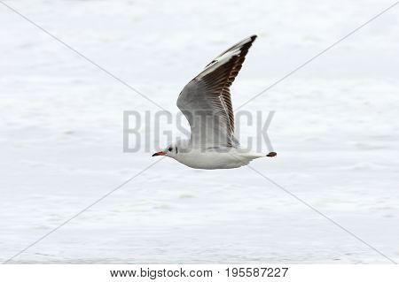 juvenile black headed gull in flight over the river ( Chroicocephalus ridibundus )