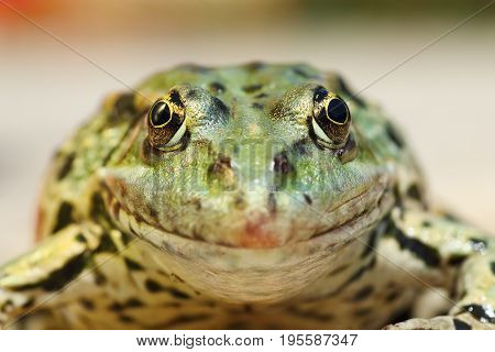 marsh frog portrait looking at the camera ( Pelophylax ridibundus )