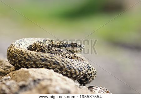 rarest european viper the hungarian meadow viper basking in natural habitat ( Vipera ursinii rakosiensis )