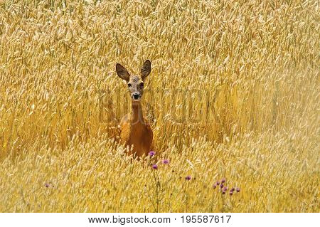 roe deer doe standing in beautiful wheat field summer image ( Capreolus female )