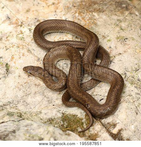 smooth snake basking on a stone ( Coronella austriaca )