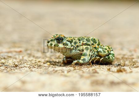 young european common green toad ( Bufotes viridis )