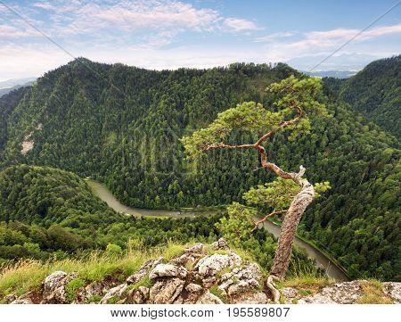 Dwarf pine tree on Sokolica peak Pieniny Poland