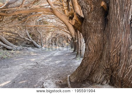 Cypress Grove Tunnel. Half Moon Bay, San Mateo County, California, USA.