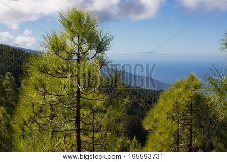 Spruce forest. Sustainable clear ecosystem. Pinus canariensis, Canary Island pine. Sea view