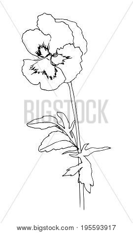 Black hand drawn pansy flower. Sketch style. Vector illustration. Line contour on white background.