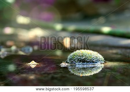 Foto of forest floor in the morning. Dew on moss sun flare effect. Anophyte in the water. Beautiful summer or spring nature ground covered with moss