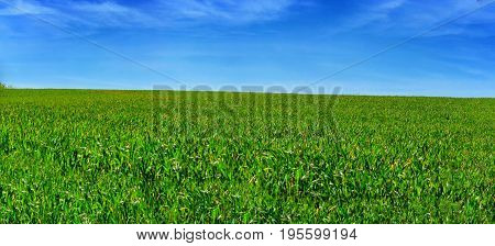Panorama of a wheat field against blue sky.