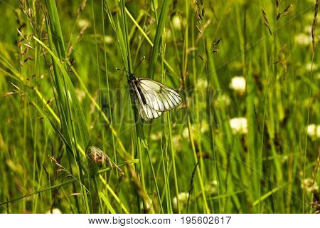 Butterfly sitting on the grass in a meadow, on a sunny meadow. Beautiful and white, flew as soon as the sun appeared.