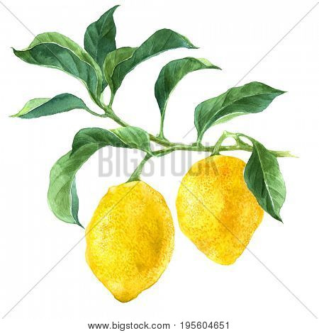 Bright watercolor lemon tree branch isolated on white background