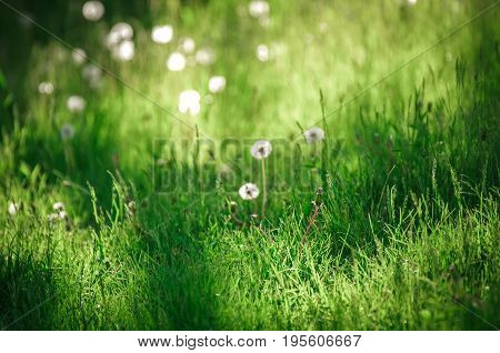Dandelion blowballs on a peaceful meadow of fresh green grass in the sunny summer afternoon