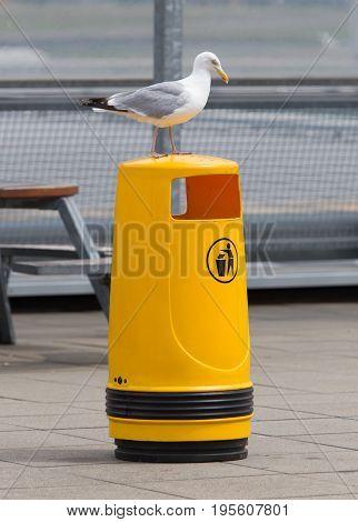 Seagull On An Old Yellow Bin